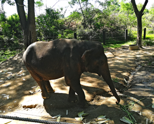 Elefant im Thai Elephant Rescue
