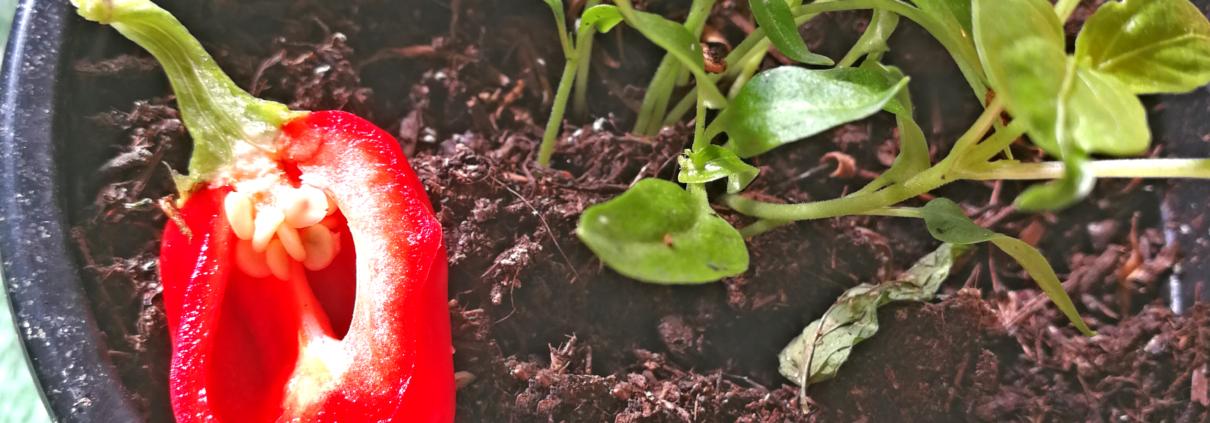So wächst eine Snack-Paprika aus Überresten