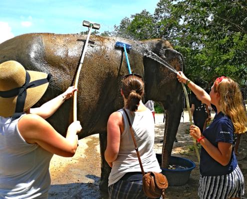 Zum Schluss wird der Elefant gewaschen während sie gemütlich futtert