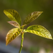 Junger Avocadobaum