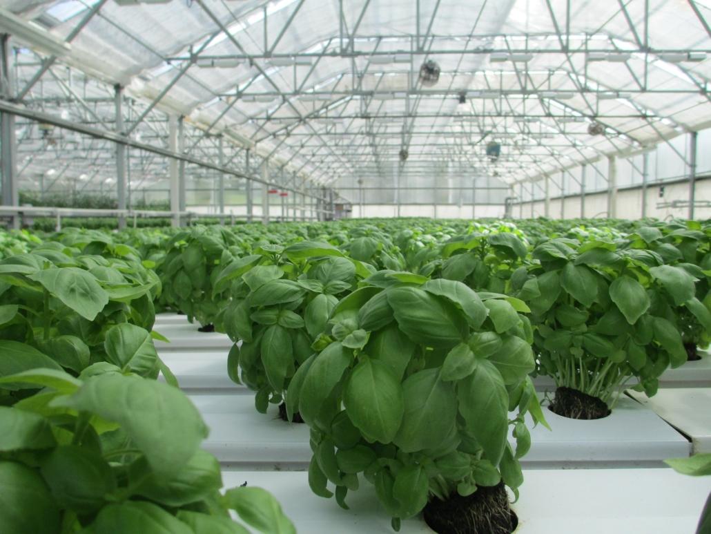 Gekaufter Basilikum ist sehr eng aneinander gepflanzt und hat es schwer, weiter zu wachsen