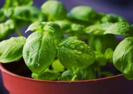 Basilikum richtig anbauen und pflegen bringt eine gesunde und leckere Pflanze