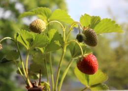 Erste reife Erdbeere auf dem Balkon