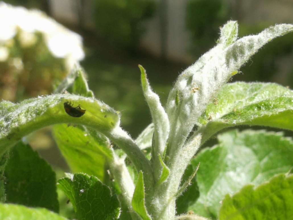Ein Marienkäfer auf der Suche nach neuen Blattläusen