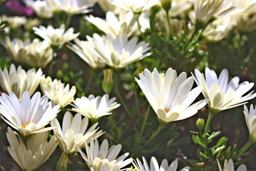 Weißte-Blümchen