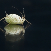 Nahaufnahme einer Blattlaus