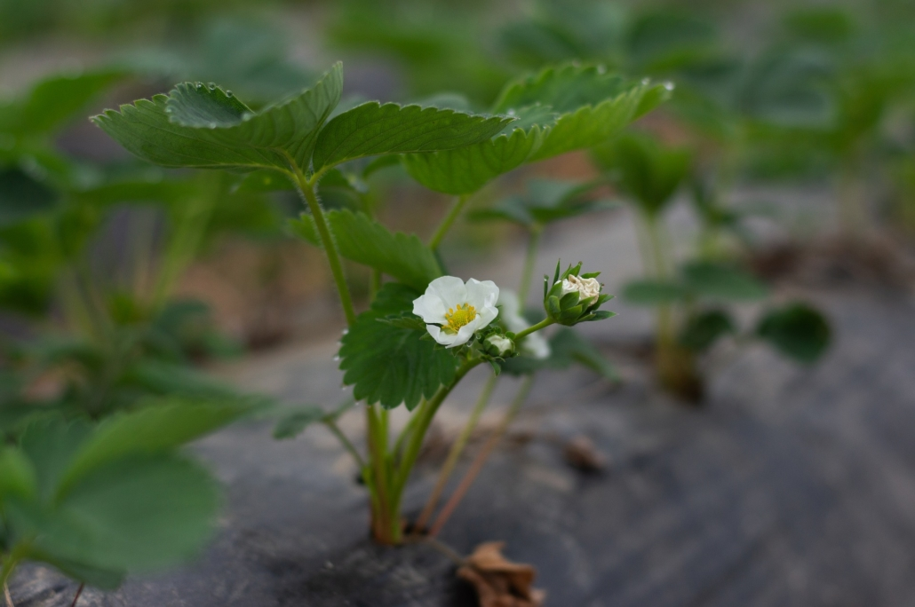 Neue Ableger entwickeln sich schnell zu eigenständigen Pflanzen