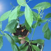 Avocado im Sommer nach draußen